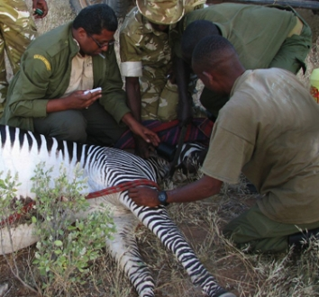 Grevon's Zebra Protection Paul Muoria