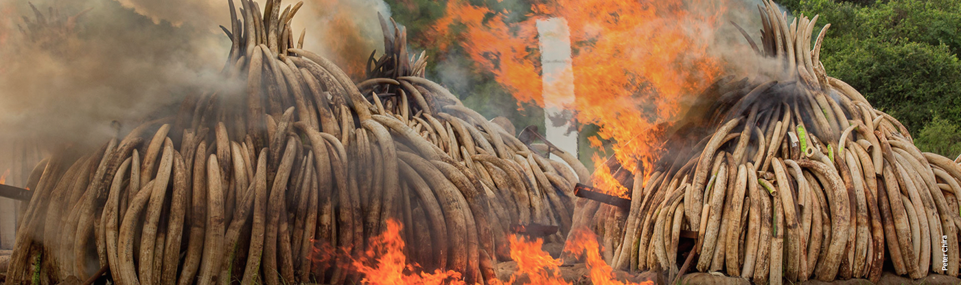 Ivory Burn in Kenya