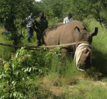 Zambia Rhino Relocation
