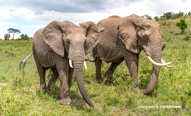 Elephants migrating across the vast Mara-Serengeti ecosystem sometimes cross into nearby homesteads and farms