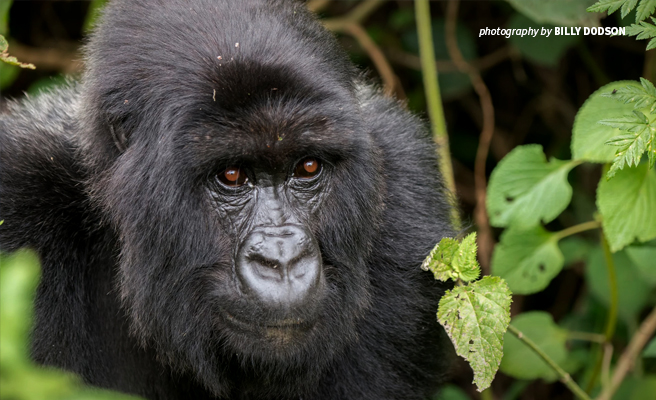International partnerships help protect threatened wildlife species like mountain gorillas and create local opportunities