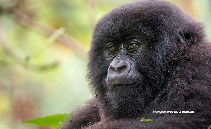 Close-up photo of an adult mountain gorilla in Rwanda