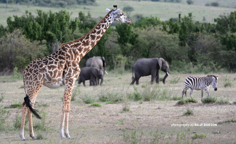 Giraffe, elephants and zebra in African savannah