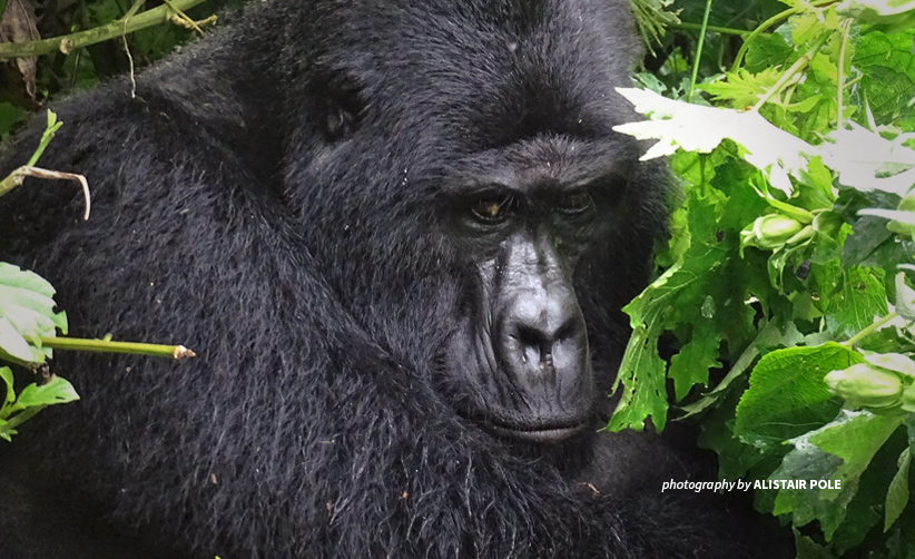 Silverback mountain gorilla Rafiki in Uganda protected area