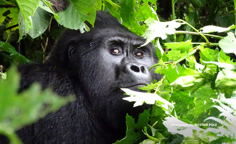 Rafiki silverback mountain gorilla killed in Bwindi