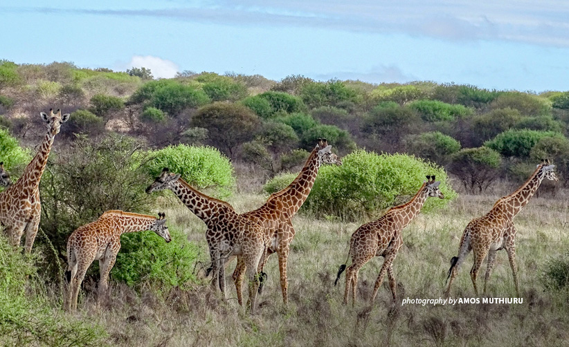 Photo of six giraffes in Tsavo shrubland