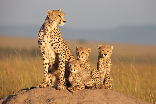"See ""African Cats,"" Save The Savanna"