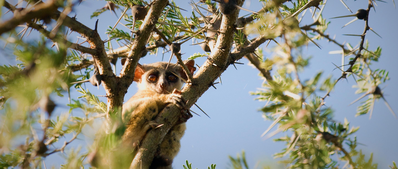 Lesser Bush Baby   African Wildlife Foundation