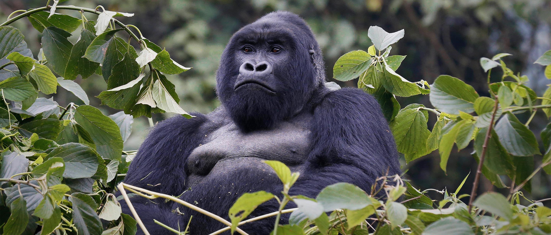 Mountain Gorilla African Wildlife Foundation