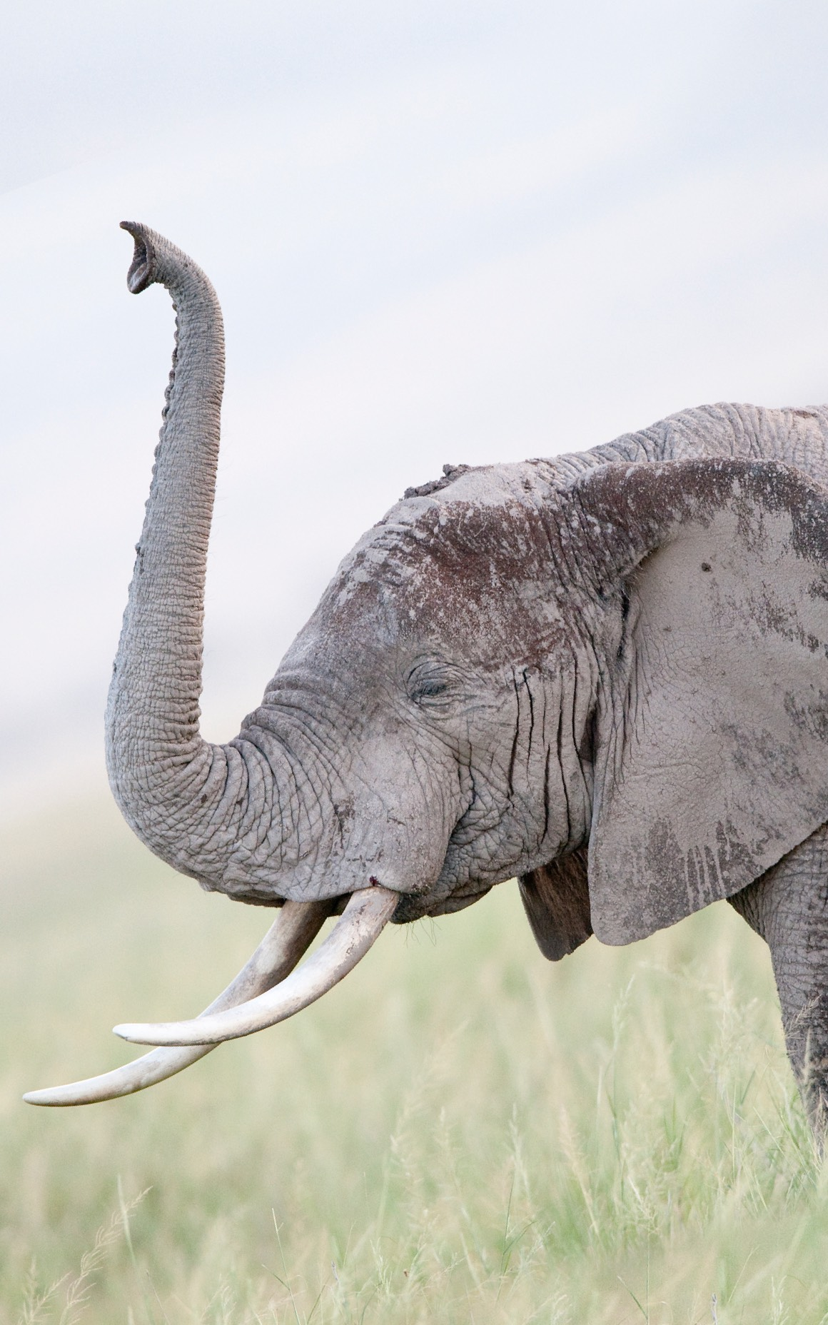 Photo of an elephant with a raised trunk