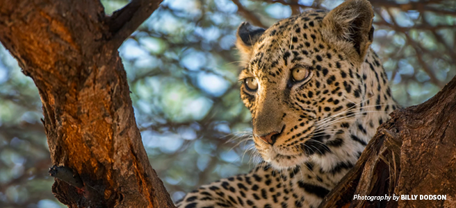 Photo of African leopard sitting in tree