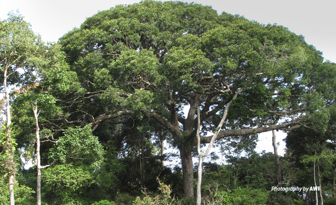 Photo of tall trees in Dja Biosphere Reserve in Cameroon