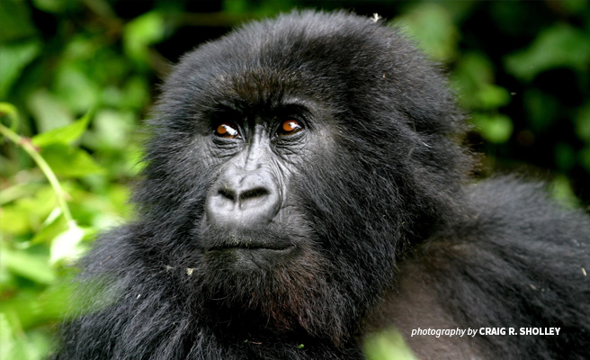 Close-up of mountain gorilla