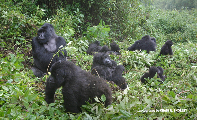 Photo of a mountain gorilla family in Rwanda