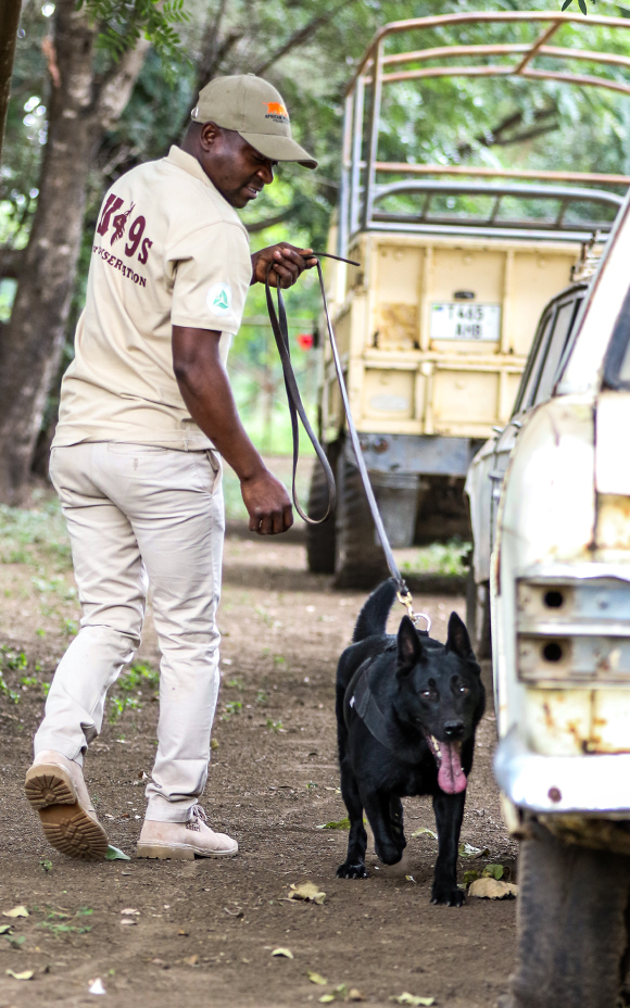 Photo of an AWF trained canine and handler team sniffing for wildlife contraband