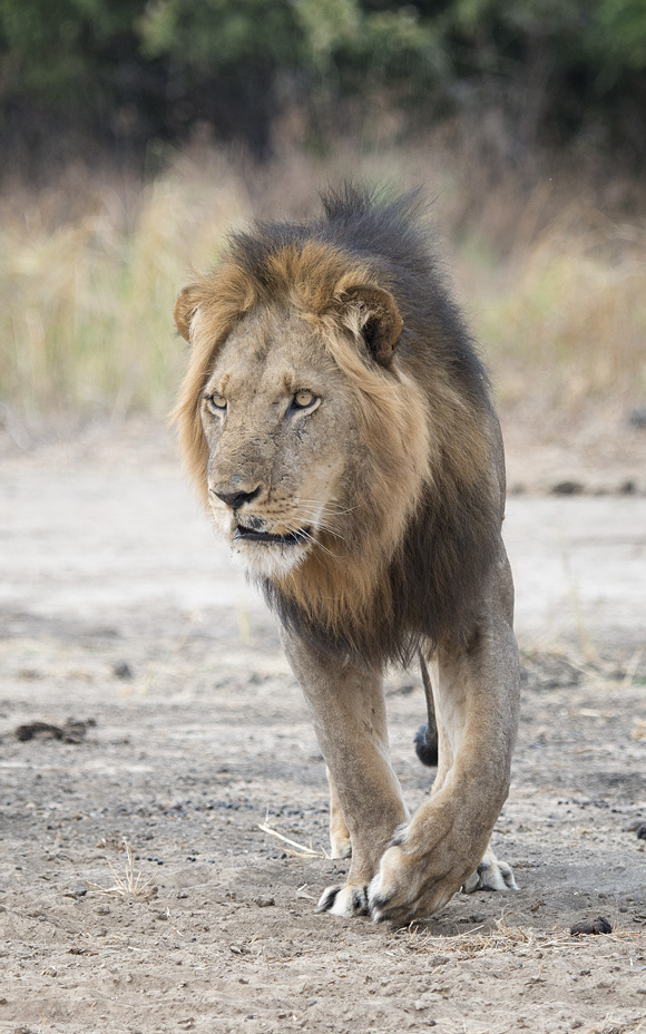 Photo of a single male lion walking