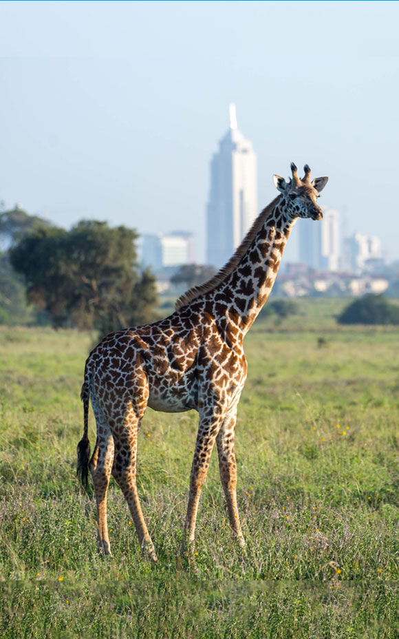 Photo of a giraffe standing against a city backdrop in Kenya's Nairobi National Park