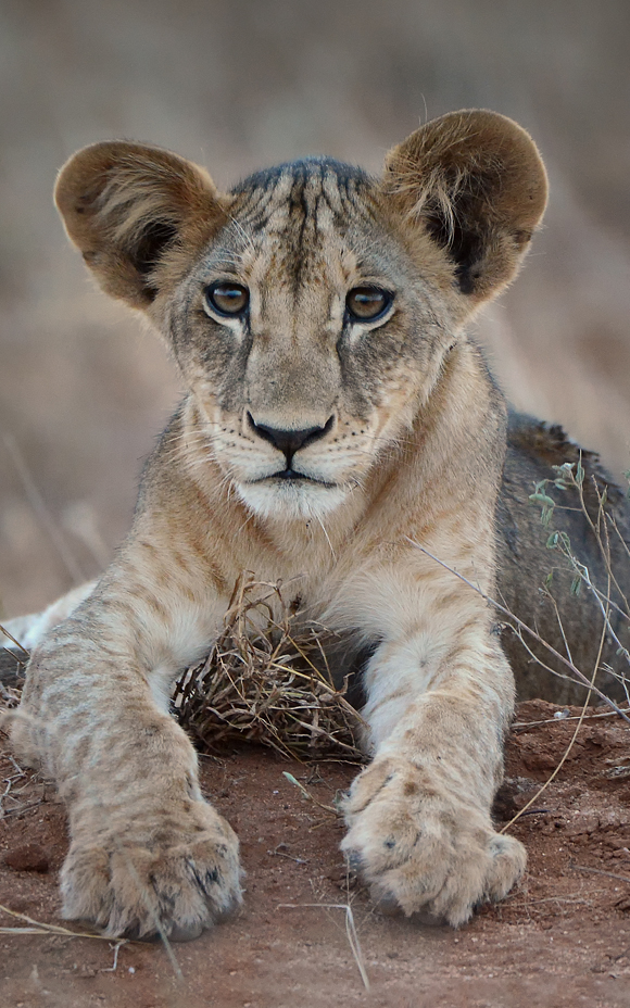 Photo of a lion cub