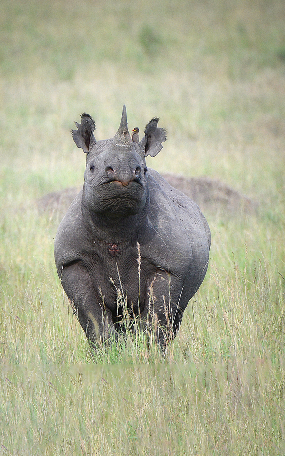 Photo of lone black rhino standing in grass