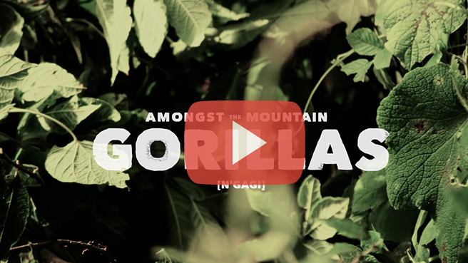 Amongst the Mountain Gorillas Video by Matt Raimondo