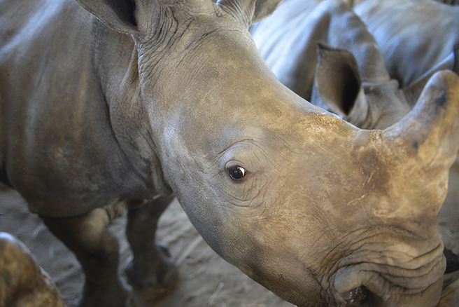Orphaned rhino calf at Hluhluwe iMfolozi Park, located in KwaZulu-Natal, South Africa. Photo by: Billy Dodson