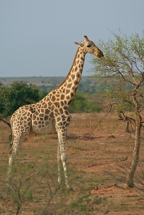 West African Giraffe John Butler
