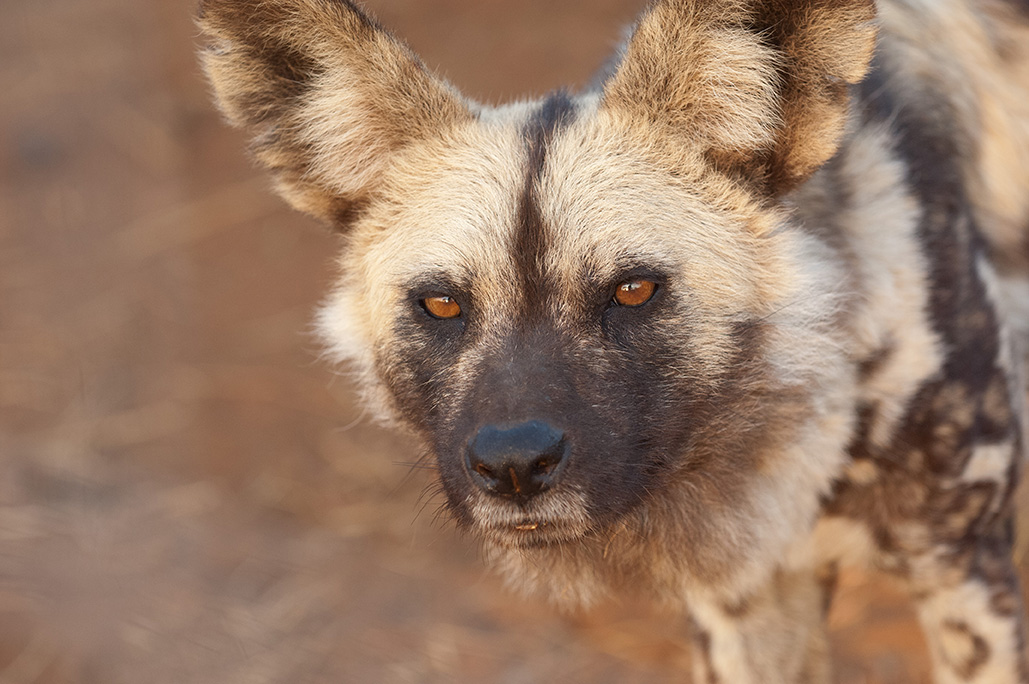 African Wild Dog A Children Pictures Book About African