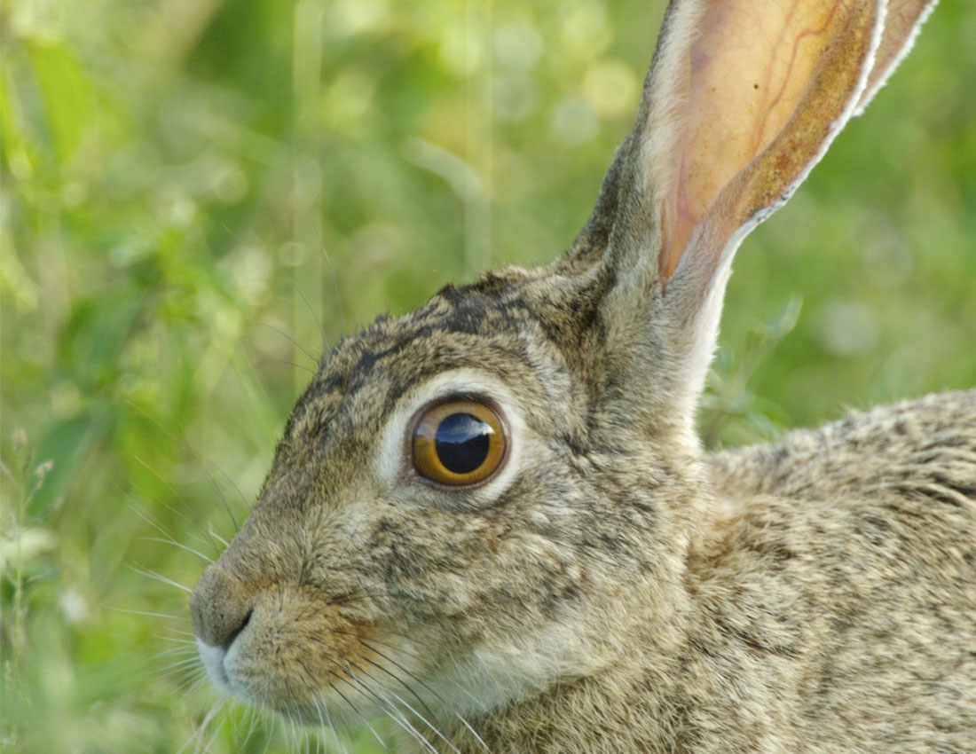 African mountain animals - African Hare Mark Boulton African Hare Alejandro Tawil