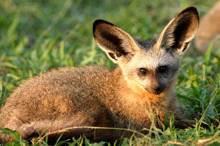 Image result for african bat eared fox