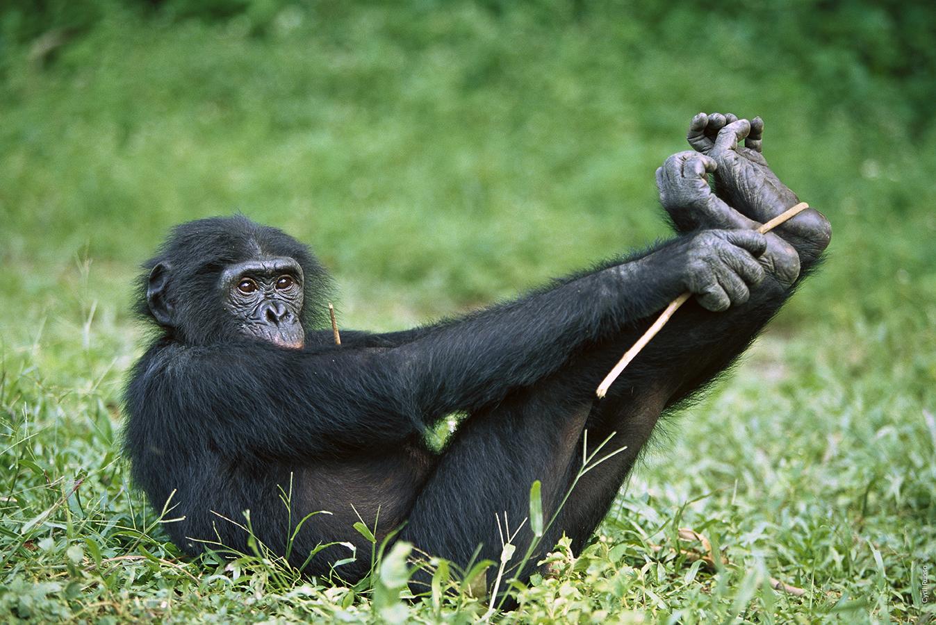 African mountain animals - Bonobo Cyril Ruoso