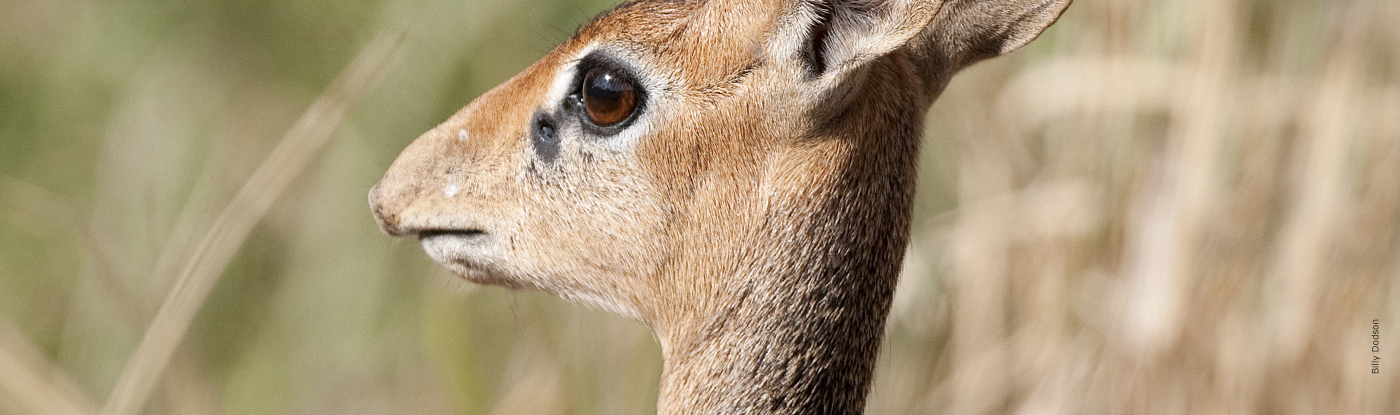 Dik-Dik | African Wildlife Foundation