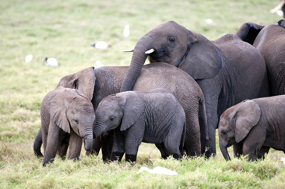 how to help african elephants