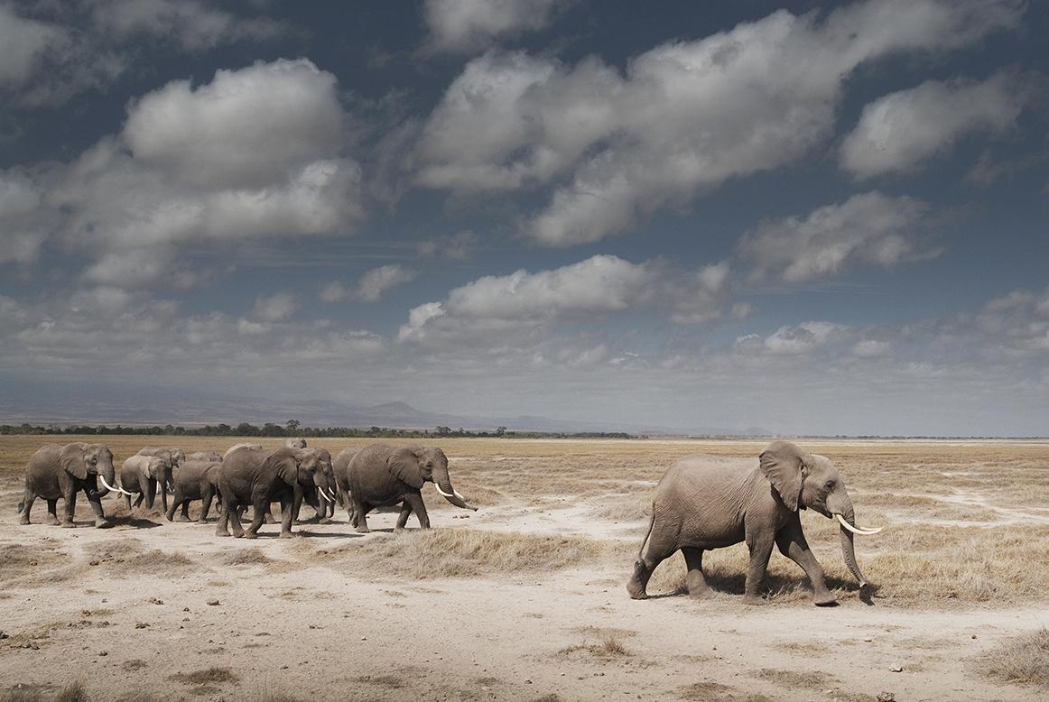 Elephant | African Wildlife Foundation