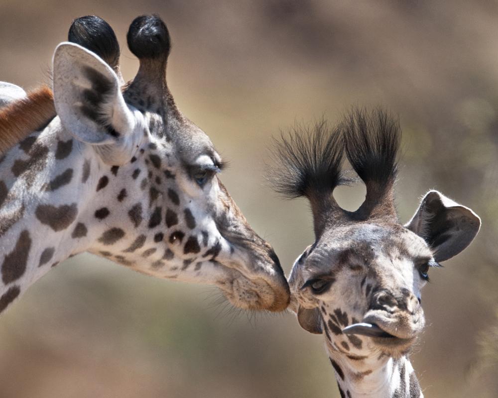 giraffe awf