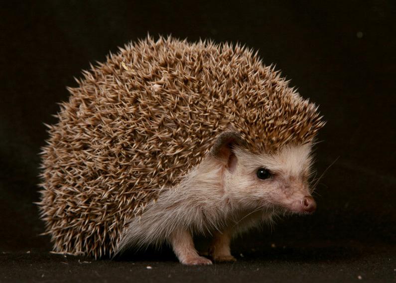 Names For Hedgehogs