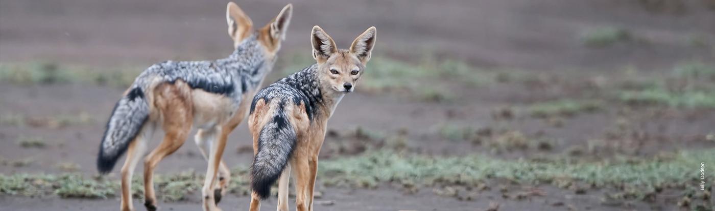 Jackal African Wildlife Foundation