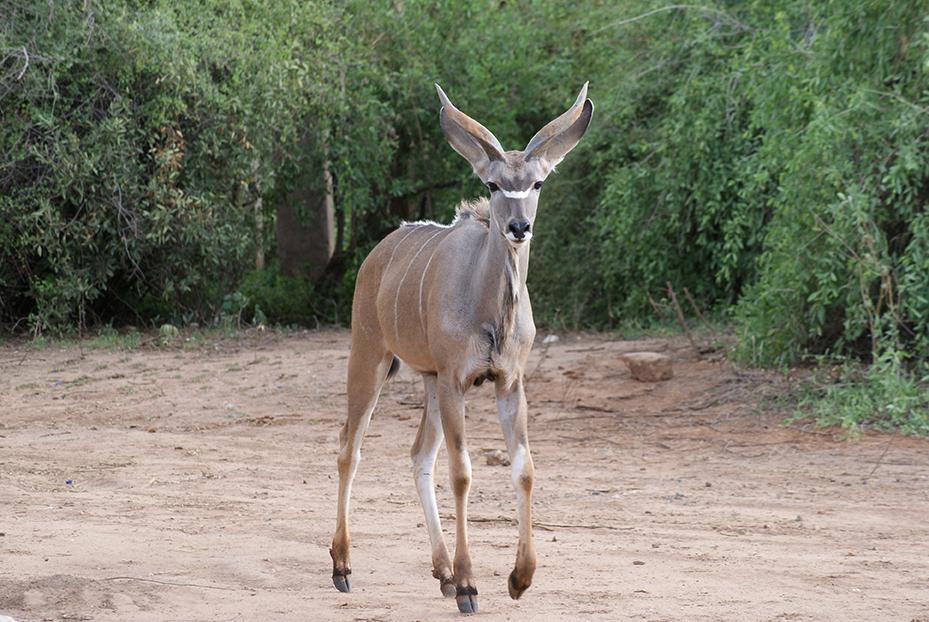 Kudu AWF