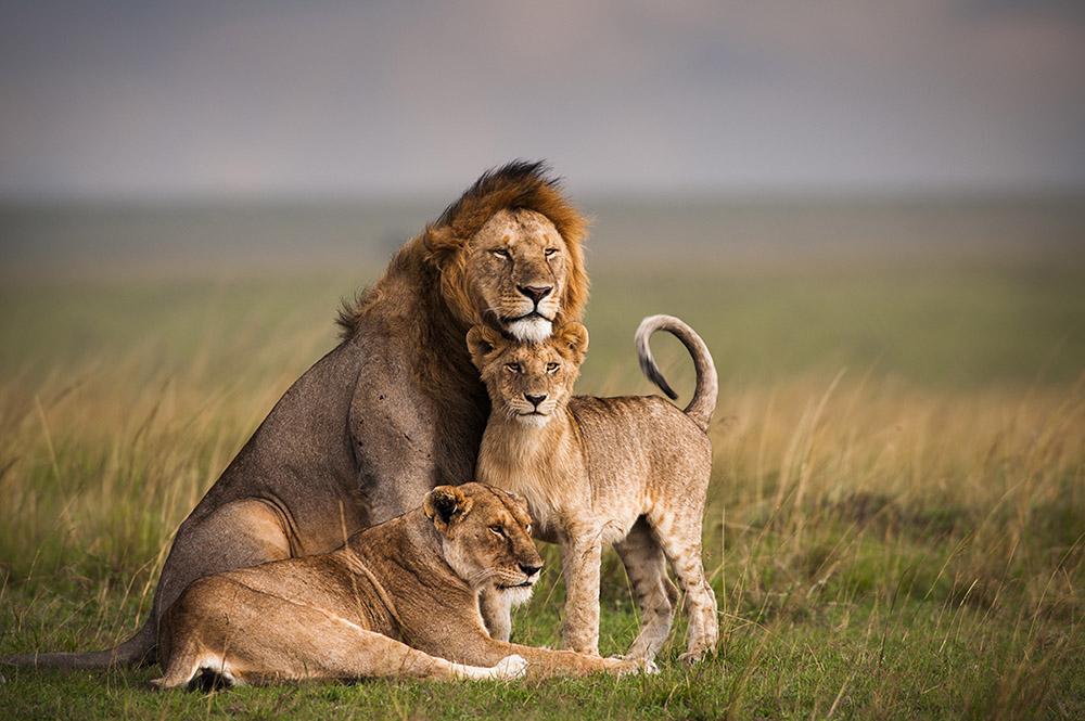 Lion | African Wildlife Foundation