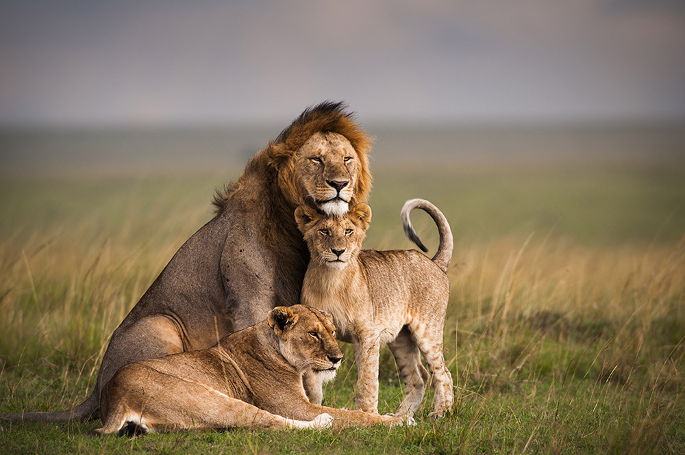 Lions Full Documentary 2015 ~ African Animals Wildlife NEW HD ...
