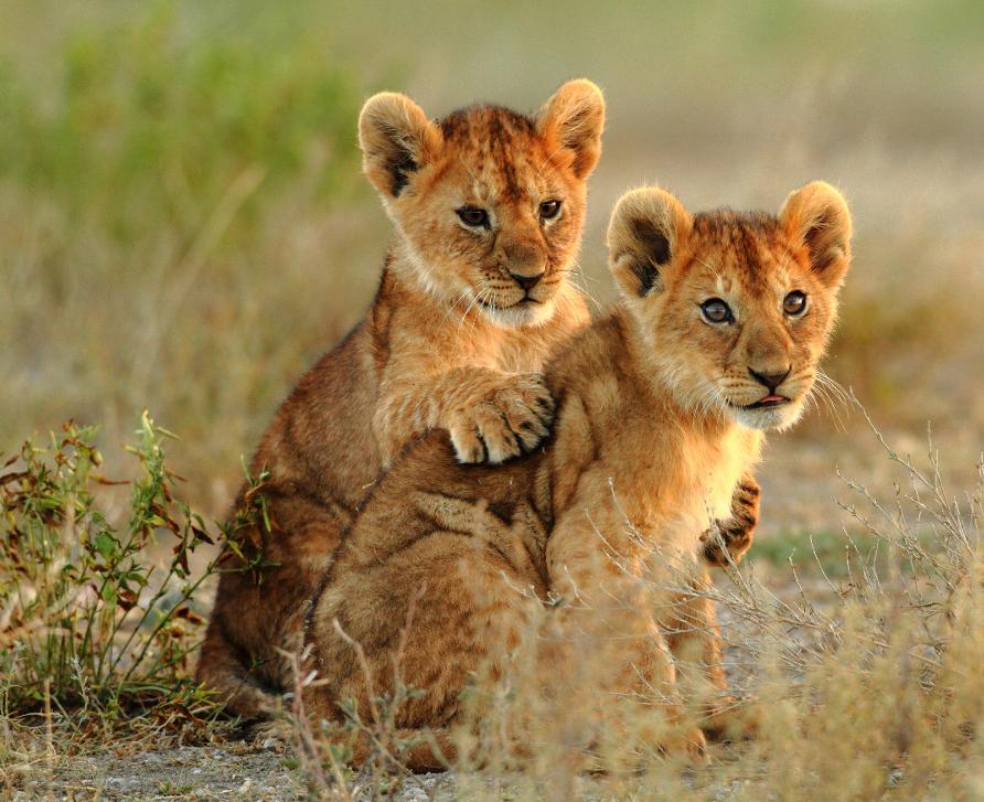 Lion African Wildlife Foundation