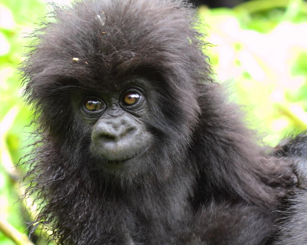 African mountain animals -  Mountain Gorilla Craig R Sholley