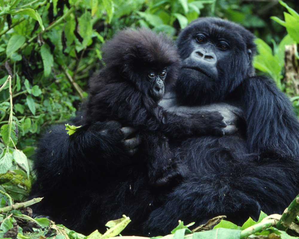 Mountain Gorillas and the African Wildlife Foundation