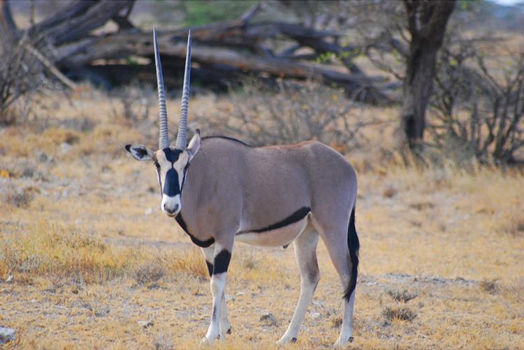 Resultat d'imatges de oryx
