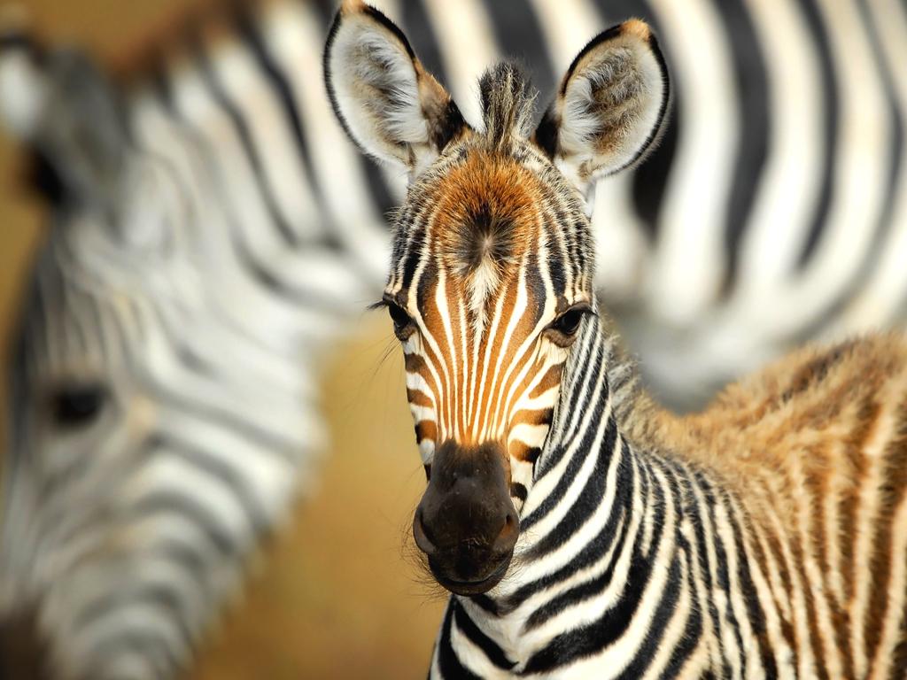 Zebra | African Wildlife Foundation