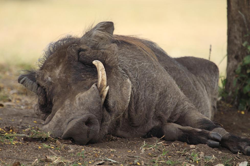 Warthog Nancy Lewis