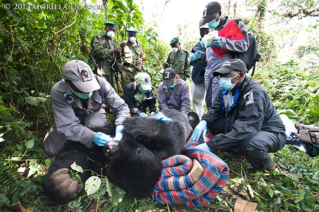 Gorilla doctors working on a mountain gorilla photo by Gorilla Doctors