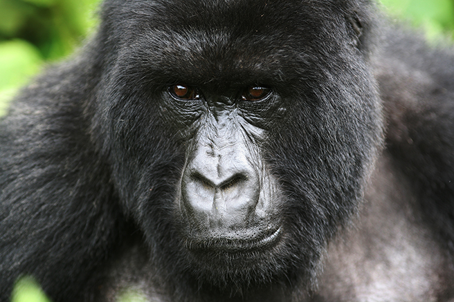 Adult mountain gorilla photo by Nick Hoggett