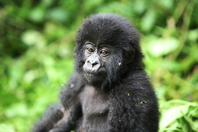 Infant mountain gorilla photo by Nick Hogget