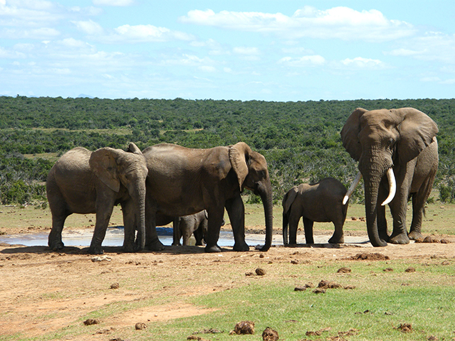Elephant herd African Wildlife Foundation