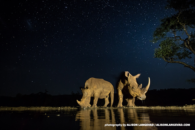 White rhinos at a watering hole